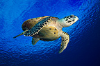 Hawksbill turtle swimming in the blue Tuamotu Polynesia (Hawksbill sea turtle)