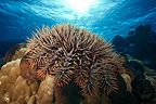 Crown-of-thorns Sea Star on Coral Tuamotu Polynesia (Crown-of-thorns sea star)