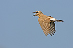 Isabelline Wheatear male courtship singing in flight Greece (Isabelline Wheatears)