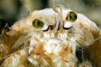 Portrait of Anemone Hermit Crab Tuamotu French Polynesia�