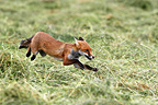 Red fox running in a meadow UK (Red fox)