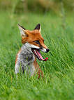 Red fox assis in a meadow Great Britain (Red fox)