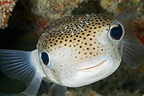 Portrait of Spot-fin Porcupinefish, Tuamotu, French Polynesia