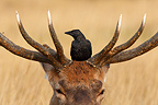 Jackdaw perched on the head of a red deer winter GB (Red deer)