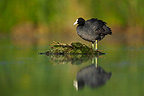 Black coot standing near its nest spring GB (Common coot)