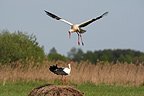 Two White storks fighting spring Poland (White stork)