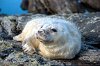 Grey Seal Pup Isle of Harris Outer Hebrides Scotland (Gray seal)