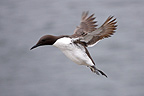 Guillemot in flight GB (Guillemot)