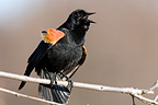 Red-winged blackbird male singing on a branch Quebec Canada (Red-winged Blackbird)