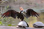 African Darter perched on a turtle after fishing Kruger NP (African Darter )