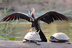 African Darter climbing on a turtle after fishing Kruger NP (African Darter )