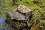 Young Red-eared pond slider on the carapace of adult France (Red-eared Pond Slider)