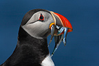 Puffin with fishes in the bill GB (Atlantic puffin)