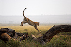 Cheetah jumping from a trunk lying Amboseli Kenya  (Cheetah)