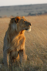 Male lion sitting watching the Savannah Masai Mara Kenya (African lion)