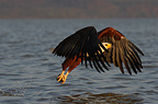Fish Eagle has caught a fish Lake Baringo Kenya (African Fish Eagle)