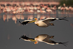 White pelican in flight over water Lake Nakuru Kenya� (Great White Pelican)