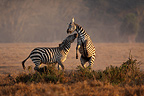 Battle of Grant's zebras in the savannah males Nakuru Kenya (Grant's zebra )