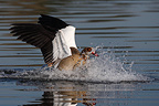 Egyptian goose landing on water GB (Egyptian Goose)