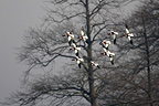 Flock of Red-billed shelducks in flight winter GB (Red-billed shelduck)