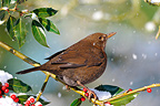 Female Blackbird standing on branch of holly when snowing (Blackbird)