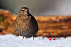 Female Blackbird standing on snow in winter (Blackbird)