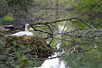 Mute Swan in her nest made with foam�Alsace (Mute Swan)