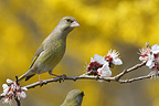 European Greenfinch  perched on a branch of apricot (Greenfinch)