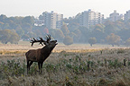 Stag roaring in front of buildings of a city in autumn GB (Red deer)