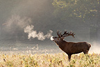 Stag roaring at sunrise in autumn GB (Red deer)