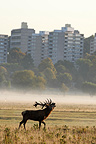 Stag roaring near a city in autumn GB (Red deer)
