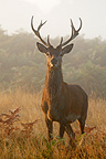 Stag standing in the mist in autumn GB (Red deer)