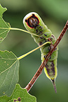 Caterpillar of Puss Moth Alsace France