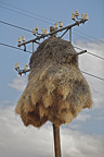 Nests of Sociable Weaver on pole South Africa (Social-weaver)