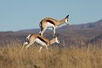 Springboks jumping in the Zebra NP South africa (Springbok)
