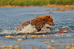 Adult Grizzly bear running to catch a Sockeye salmon Alaska (Grizzly bear )