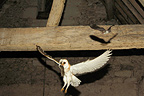 Barn Owl and its Common vole prey with a Bat France (Barn Owl)