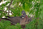 Couple of Common Wood-pigeon grooming on their nest France (Common Wood-pigeon)
