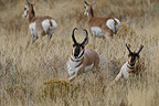 Pronghorns during the rut in Grand Téton NP USA (Pronghorn)