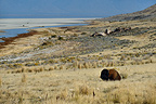 American Bison near the beach north of Antelope Island (American Bison)