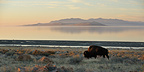 American Bison to the west side of Antelope Island Utah USA (American Bison)
