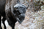 American bison male sprinkle of snow in Yellowstone NP USA (American Bison)