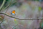 European Robin standing on a branch in winter (European Robin)