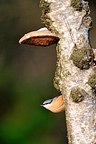 Common Nuthatch standing on a birch in winter (Common Nuthatch)