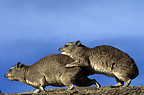 Yellow-spotted Rock Hyrax mating on a rock Tanzania (Yellow-spotted rock hyrax)