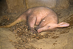 Young Aardvark in a burrow South Africa (Aardvark)