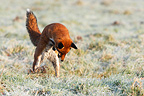 Red fox jumping to catch prey in frozen meadow in autumn GB (Red fox)