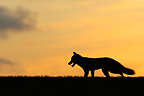 Silhouet of a Red fox at sunset in autumn GB (Red fox)