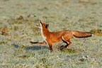 Red fox playing with a shrew in autumn GB (Red fox)
