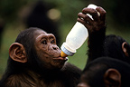 Orphan Chimpanzee drinking from a baby's bottle Congo (Chimpanzee)